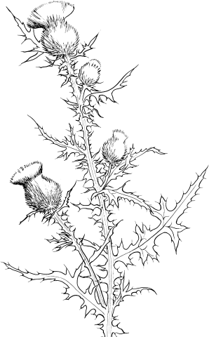cirsium-vulgare-or-bull-thistle-coloring-page